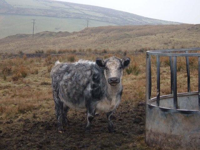 Livestock on Todmorden Moor