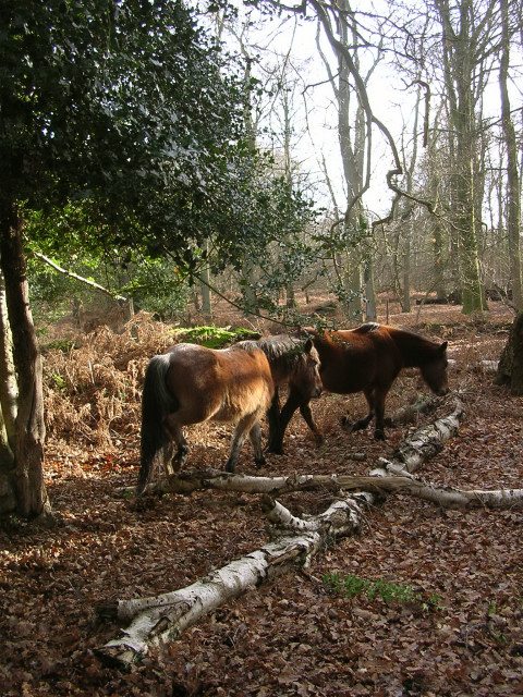 Ponies in Berry Wood, New Forest