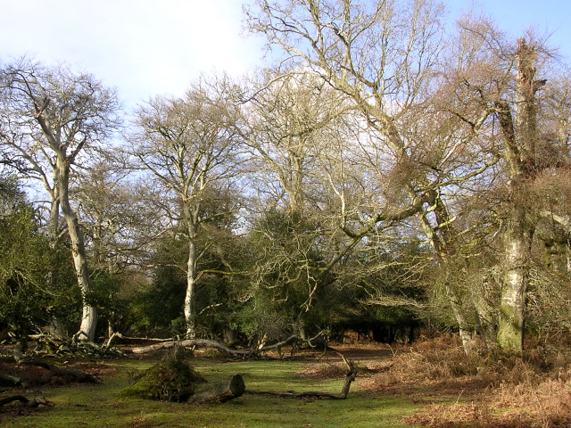 Clearing in Berry Wood, New Forest