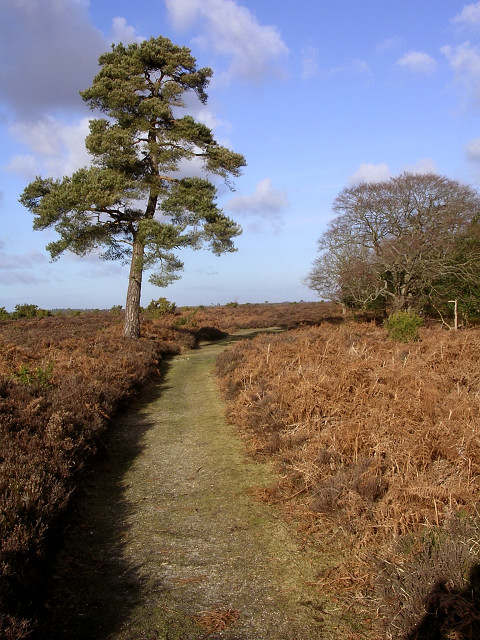 Scots Pine west of Berry Beeches, New Forest