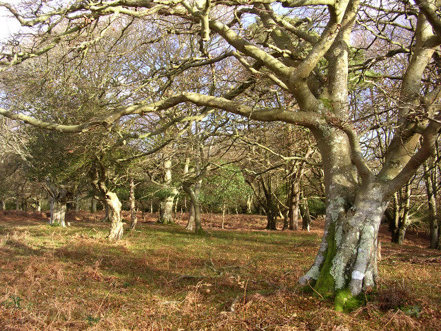Berry Beeches, New Forest
