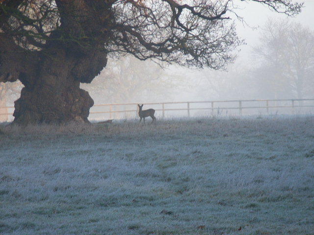 Deer and oak near Braywood House