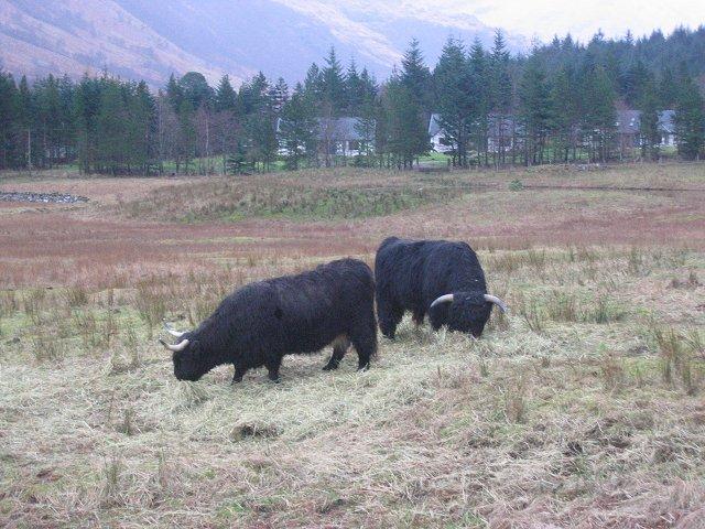 Highland Cattle, Glen Nevis.