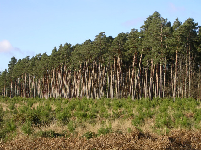 Pines grown for profit in the South Oakley Inclosure, New Forest