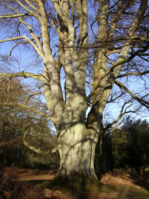 Old beech in Undersley Wood, New Forest