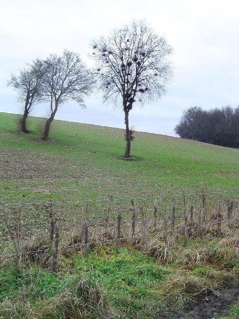 Herberts Hole - old hedge, new hedge
