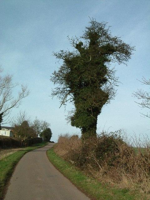 Ivy girt tree, Whitacre Fields