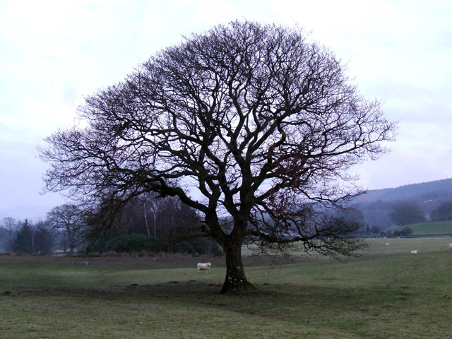 Tree at Tan-y-Foel