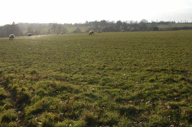 Sheep grazing in winter sunshine near Ockeridge