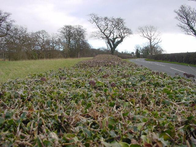 Manicured Hedge