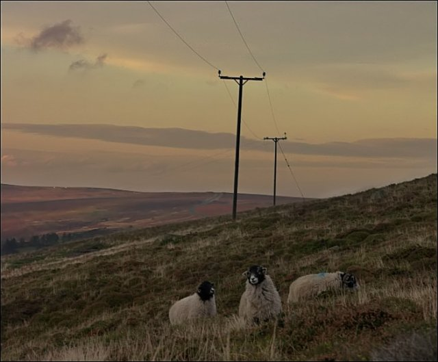 Swaledale Sheep at Westerdale