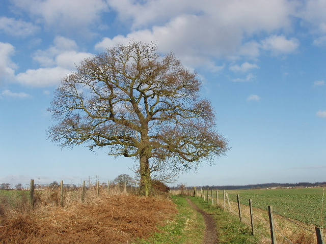 Oak tree near Denham