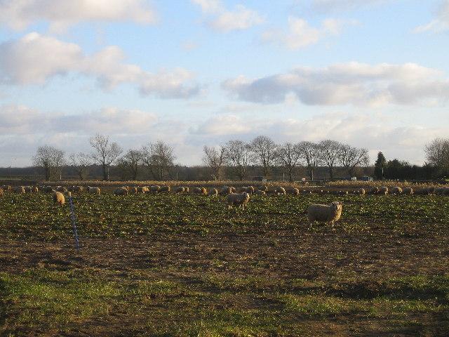 Field full of sheep