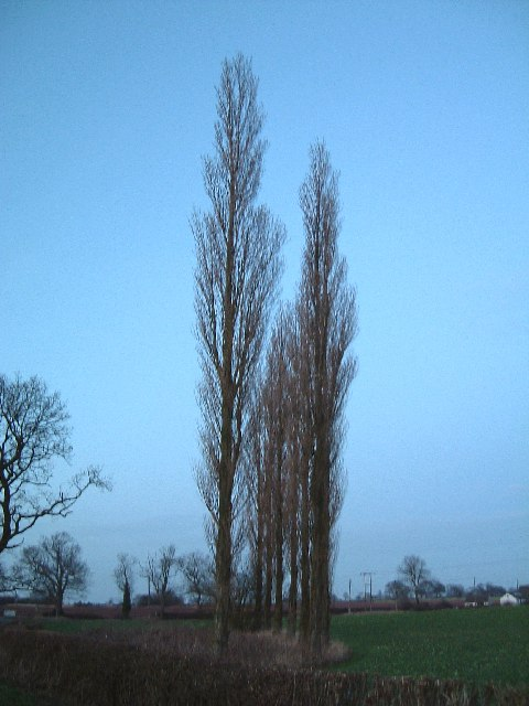 A stand of Lombardy Poplars