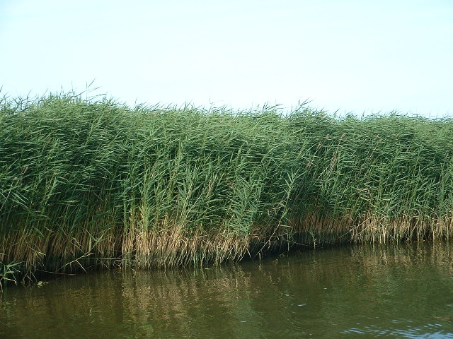 Reed Beds, River Waveney