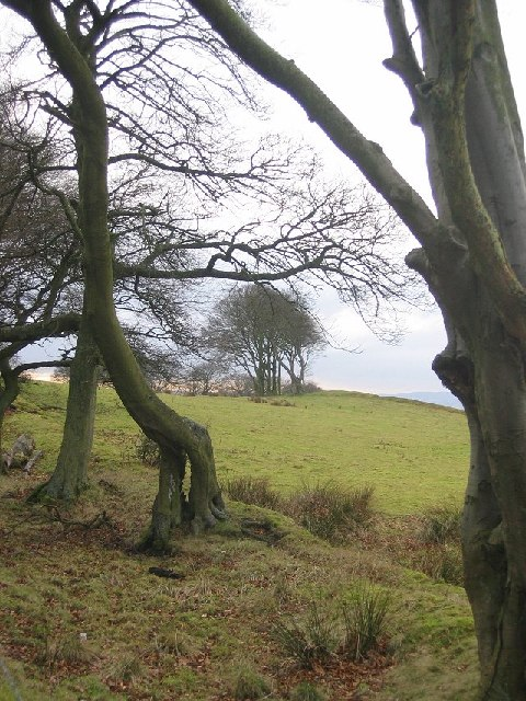 Beeches on the Bathgate Hills.