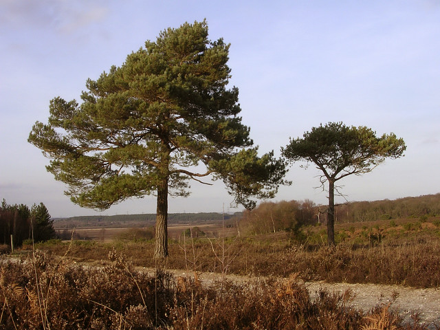 Scots pine on Beaulieu Hilltop Heath, New Forest