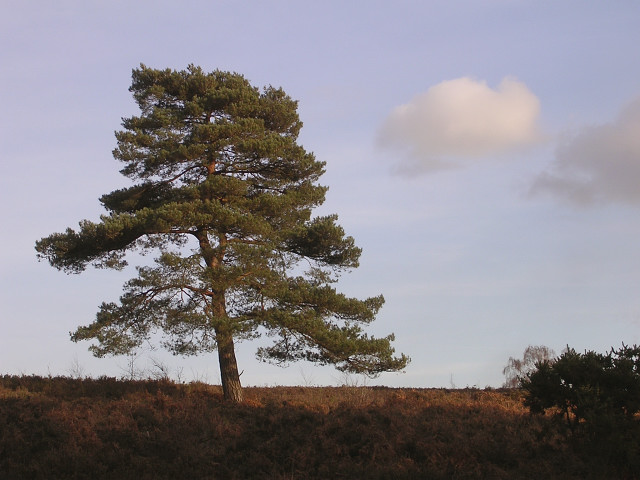 Scots pine east of the Foxhunting Inclosure, New Forest