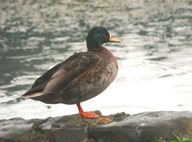 Mallard at Otterston Loch
