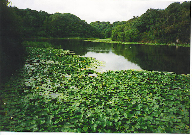 Lilies on the Bosherston Ponds.