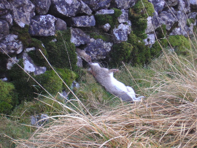 Stoat with rabbit