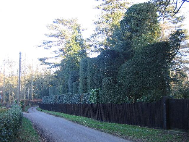 Hedge on Fox Lane, Framingham Pigot