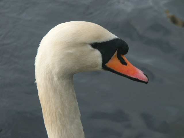 What Me a Swan?- Aw Go On!