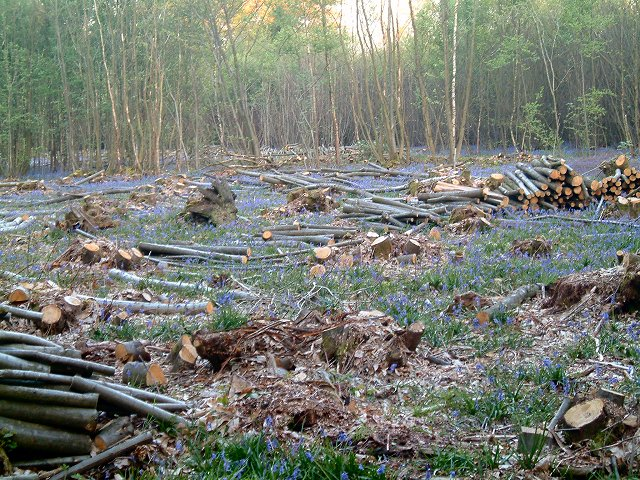 Coppicing at Powdermill Wood