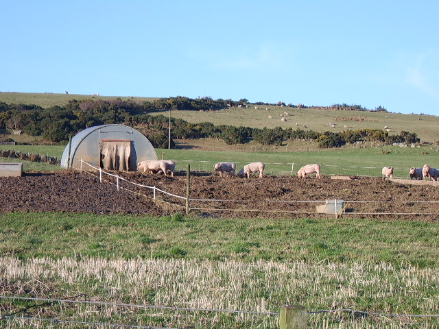 Piglets at Kilmaluag, Barr Glen