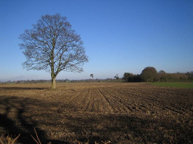 Chipperfield: Lone tree in farmland off Bucks Hill road