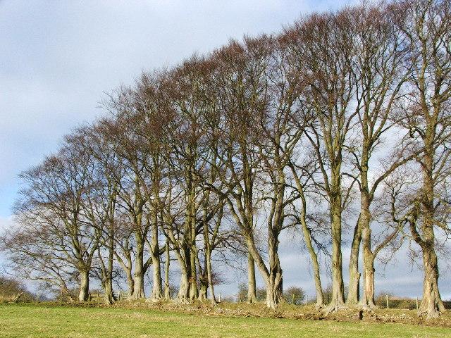 Beech Trees 2