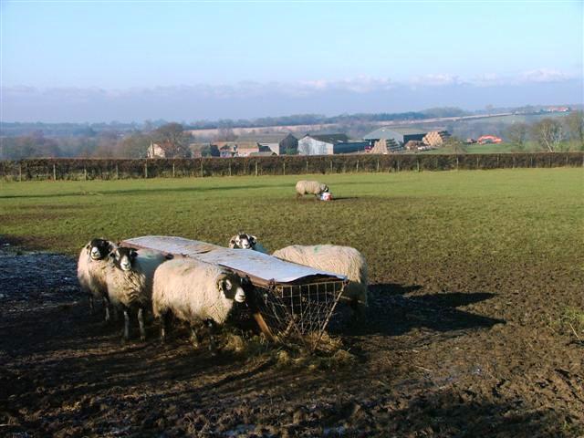 Sheep Feeding Trough, Near East Sockburn Farm