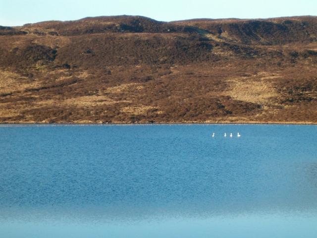 Swans on Loch a Chaoruinn
