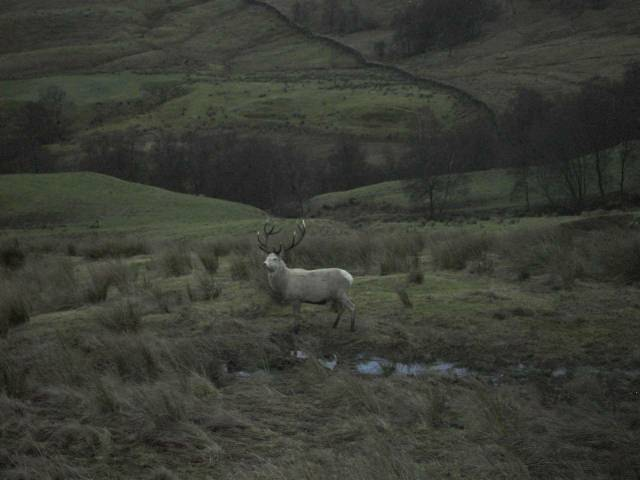 An albino stag