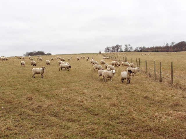Sheep in the Misbourne valley near Amersham
