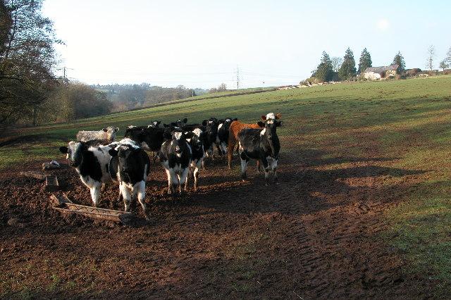 Cattle at Treverven, Llangarron