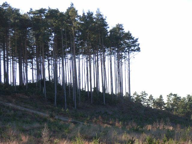 Wagbullock Hill, Swinley Forest