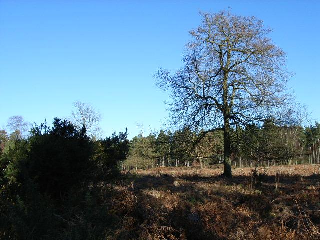 Wickham Bushes, Swinley Forest