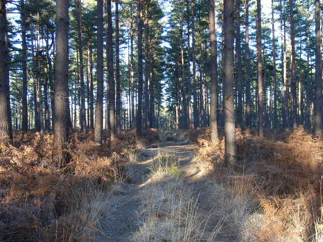 Track in Swinley Forest