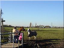 SJ4887 : Feeding the Ponies by Sue Adair