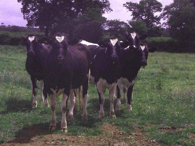 Cows in field off Lympstone-Woodbury minor road