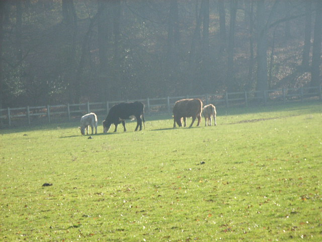 Cattle at Turville Park Farm