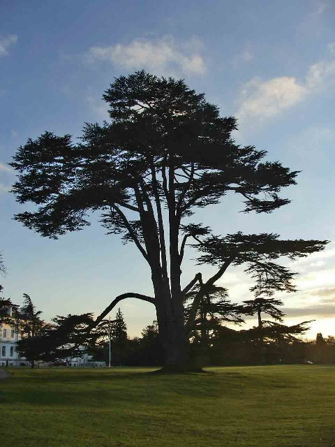 Cedar of Lebanon in the grounds of Bayfordbury Hall