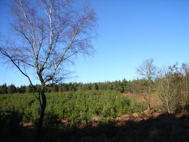 Area of young pine trees, Swinley Forest
