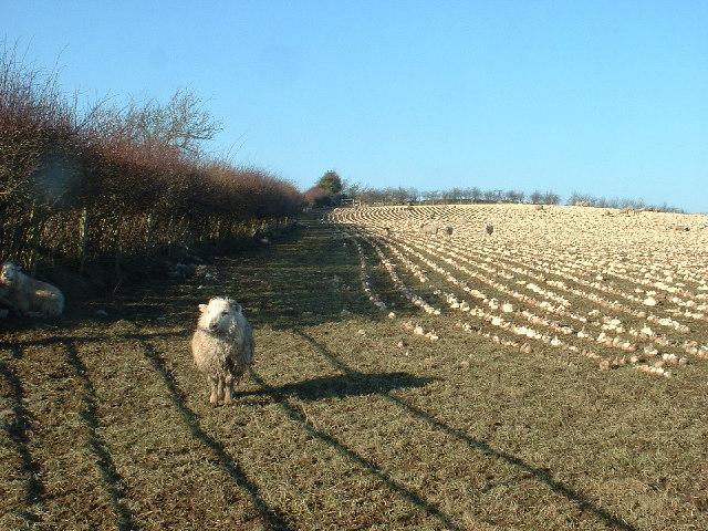 Turnip Field near Cerrigydrudion