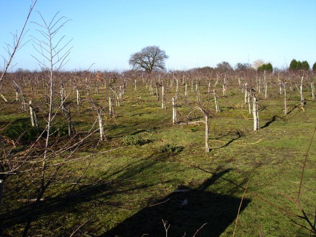 Young orchard at Boxted