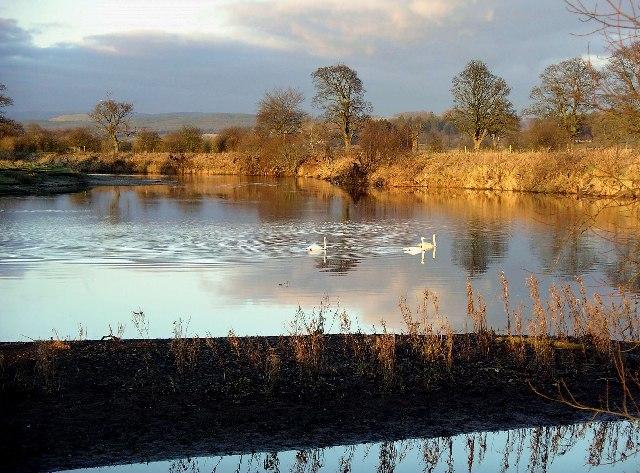 Swans, River Annan