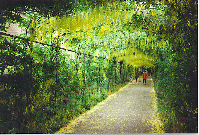 The Laburnum Tunnel, Hampton Court.