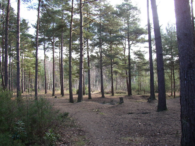 Woodland on Hawley Common, Hampshire