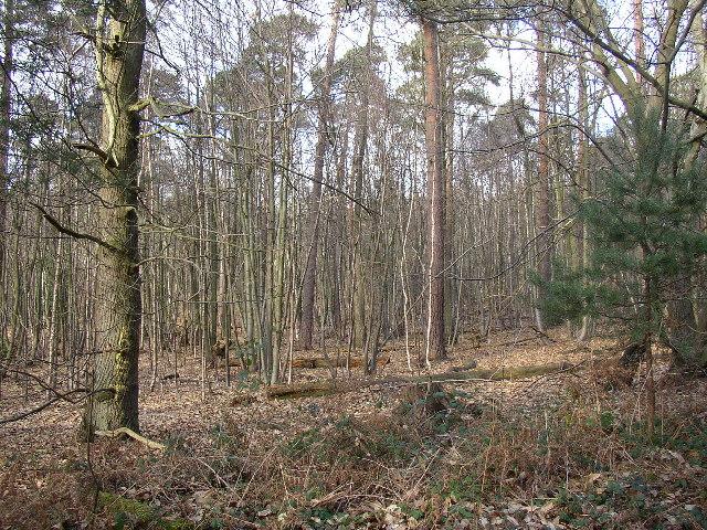 Woodland on Hawley Common